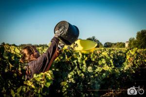 Vendanges manuelles, Château le Puy, raisin, biodynamie, porteur
