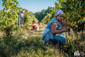 Vendanges manuelles, Château le Puy, raisin, biodynamie, femmes