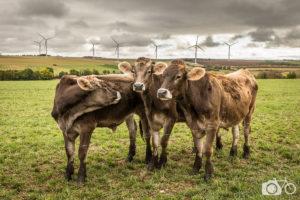 Photothèque parcs éolien, reportage, éolien, environnement, écologie, énergie renouvelable, éoliennes, territoires, le photographe ambulant, vaches