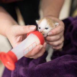 chaton buvant au biberon au refuge spa du pays de saint-malo